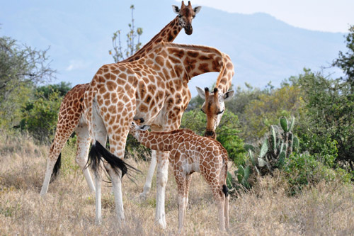 giraffe-article