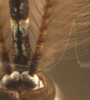 The plumose antenna of the male Tanzanian mosquito Toxorhynchites brevipalpis. The ring shaped structures at the base of each antenna (between the eyes) contain the auditory organs.