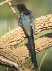 A green woodhoopoe