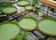 The circular leaves of the Giant Amazon Water Lily