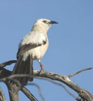 A pied babbler acting as sentinel.