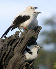 A group of pied babblers.