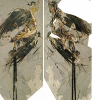 Eoconfuciusornis zhengi, skeleton and feather impressions.