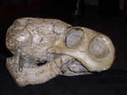 Fossilised skull of the sabre-toothed Lycaenops, a top predator of the latest Permian.