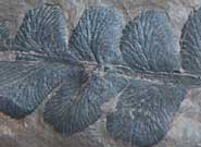 Detail of a pteridosperm, an extinct seed-producing fern-like plant