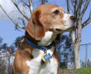 A six-year old female purebred beagle of the tricolour variety