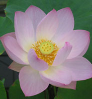 A sacred lotus, one of 15 varieties on display in the Botanic Garden