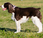 English Springer Spaniel with a docked tail