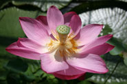 A Pink Bowl Lotus from the Chinese collection at the University of Bristol Botanic Garden
