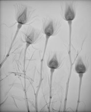 This digital radiograph of some roses was taken during a clinical teaching session about the physics of X-rays at the Veterinary Hospital of the University of Bristol