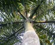 Roystonea regia, commonly known as the Cuban Royal Palm