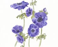 A painting of purple anemone by Annie Morris