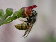 Wasp on figwort