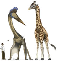 Extremes in pterosaur morphology. The giant and probably flightless Quetzalcoatlus from the Late Cretaceous of Texas was as tall as a giraffe. The small insectivorous Anurognathus from the Late Jurassic of Germany is seen flying above the artist's head. Drawings by Mark Witton.