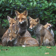 A family of foxes