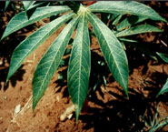 An infected cassava leaf