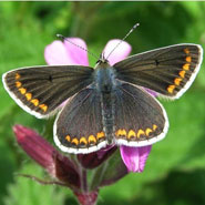 An image of the Brown Argus butterfly