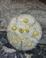 570 million year old multicellular spore body undergoing vegetative nuclear and cell division (foreground) based on synchrotron x-ray tomographic microscopy of fossils recovered from rocks in South China. The background shows a cut surface through the rock - every grain (about 1 mm diameter) is an exceptionally preserved gooey ball of dividing cells turned to stone.