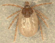 One of the ticks collected as part of the study