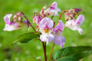 A flower on a Himalayan Balsam plant