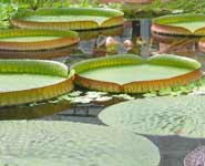 Giant Amazon Water Lily, Victoria amazonica