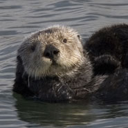 Sea otters sometimes respond to ecotourists as though they are predators