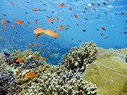 A Red Sea coral reef