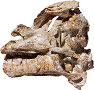 Fossil skull of the juvenile specimen of Dysalotosaurus lettowvorbecki