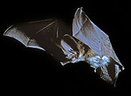 A grey long-eared bat (Plecotus austriacus) in flight