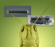 A locust with ion beam milling showing a section of eardrum