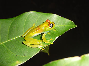 Image of the tree frog Boophis ankarafensis
