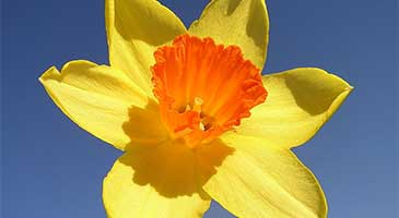 Spring flowering plant, the Narcissus (daffodil)