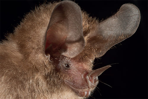 Image of the common big-eared bat (Micronycteris microtis)