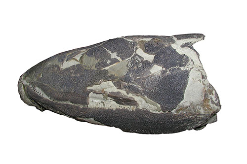 Image of one of the original Eusthenopteron skulls used in the project
