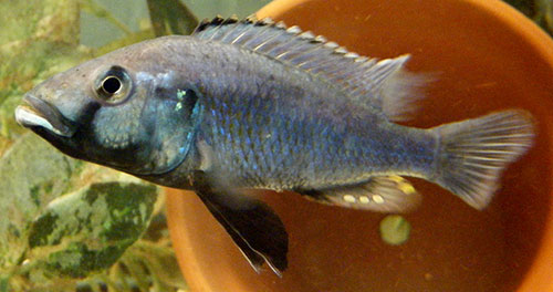 Image of a blue cichlid from Lake Massoko