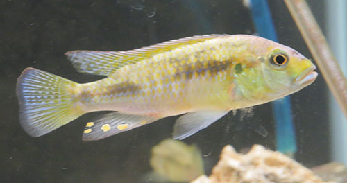 Image of a yellow cichlid from Lake Massoko