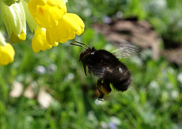 Image of a hairy-footed flower bee (Anthophora plumipes) by Nadine Mitschunas