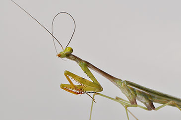Image of a praying mantis (courtesy of Malcolm Burrows, University of Cambridge)
