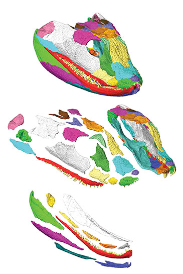 Image of a 3D model of Acanthostega gunnari showing the complete skull on top with 'exploded' views of the upper and lower jaws below