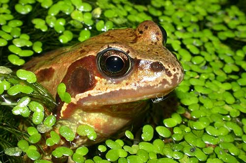 Image of a common frog