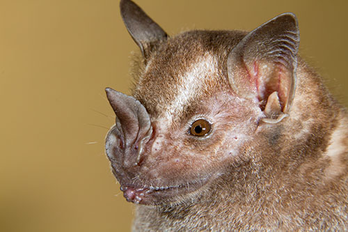 Image of a Jamaican fruit bat (Artibeus jamaicensis)