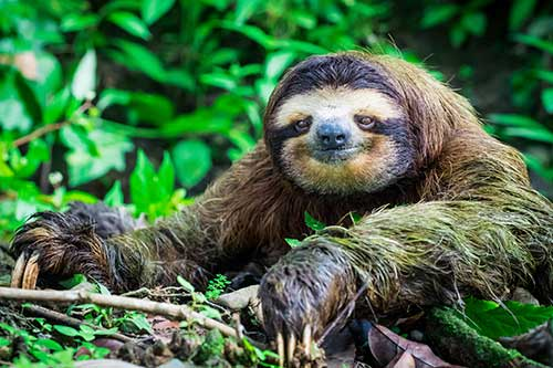 Image of a sloth
