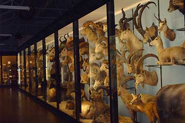 Image of a museum display of taxidermy