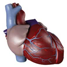 Scientific model of human heart